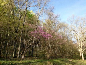 Redbud on the road
