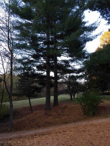 The old pine trees will still grow