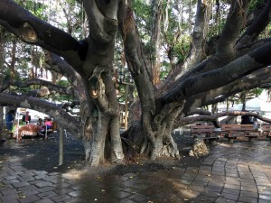 The Banyan tree on Front St.