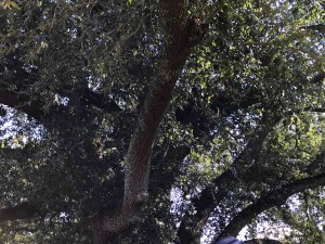 In the shade of the old live oak...