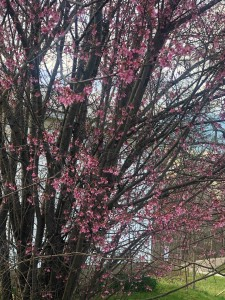 Red Bud by the house